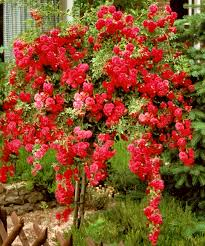 weeping red rose tree ideas for the house pinterest rose