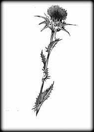 scottish thistle by naiils1979 on deviantart