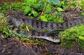roughscale snake snake catcher gold coast u0026 brisbane