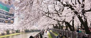 cherry blossom pics where to see cherry blossoms