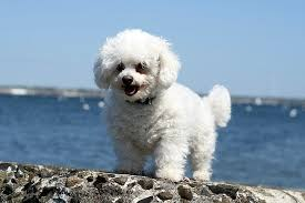 bichon frise names male want to adopt a bichon frise dog pros u0026 cons of bichon dogs the