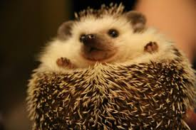 what do hedgehogs eat a healthy diet for your amazing companion