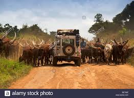 land rover defender safari land rover defender driving through a herd of ankole cattle on a