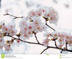 yoshino cherry tree branch in bloom in the sky background