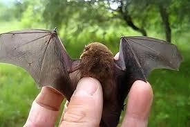 small bat bats images small bat wallpaper and background photos 31889616