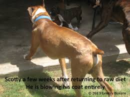 boxer dog vomiting after eating eating healthy raw diet gentry boxers