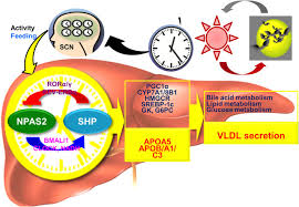 circadian clock control of hepatic lipid metabolism role of small