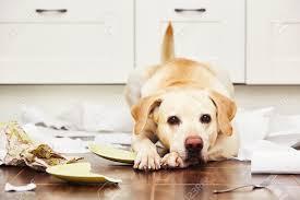 chien cuisine chien allongé au milieu du désordre dans la cuisine
