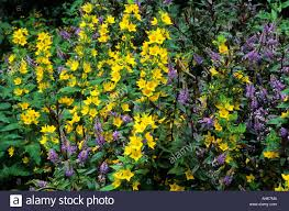 Yellow Colour Combination Yellow Purple Colour Flower Combination Hebe Lysimachia Punctata