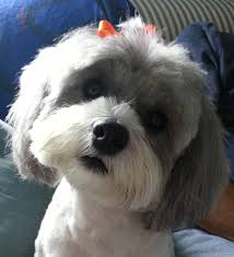 shih pooh haircut shih poo toby haircut ideas pinterest shih poo fluffy