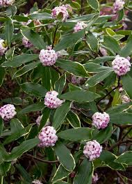 Fragrant Plants For Shade - top 10 scented plants for your garden