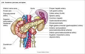 celiac trunk anatomy gallery learn human anatomy image