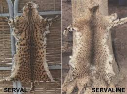 SERVAL - Leptailurus serval - Page 2 Images?q=tbn:ANd9GcT9EYfM9vrOljT7S3DKlQCp24byoACRf06kEU4738uU5N7tEW5_4o-mXPzuhA
