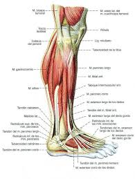 Foot Anatomy Nerves 108 Best Anatomy Images On Pinterest Human Anatomy Medicine And