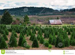 oregon christmas tree farm stock photo image of growing 12286158