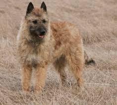 belgian shepherd ear problems belgian shepherd laekenois dogs breeds pets