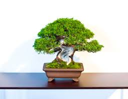the world u0027s best photos of bonsai and jin flickr hive mind