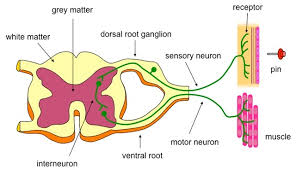 How Does A Reflex Arc Work In A Nervous System Spinal Cord And Reflex Actions Kullabs Com