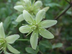 The Most Fragrant Plants - scented plants at the old cottage the leaf beautiful and clematis