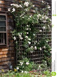 white roses on trellis stock photo image 57715533