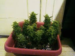 topping vs fiming cannabis get step by step instructions grow