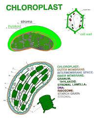 chloroplastans png
