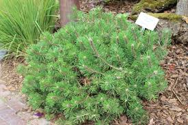 mountain pine humpy pine trees conifers ornamental
