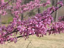 native plants of virginia plants petersburg national battlefield u s national park service
