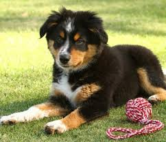 australian shepherd and border collie wendy the australian shepherd mix puppies daily puppy