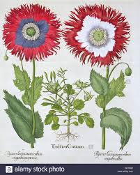 ornamental poppies 1613 artist unknown stock photo royalty