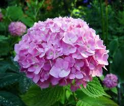 hydrangeas flowers flowers