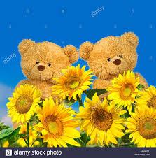 teddy sunflowers teddy bears with sunflowers stock photo royalty free image