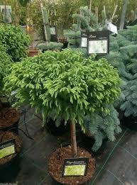 Topiaries Plants - half standard cryptomeria japonica globosa nana charellagardens