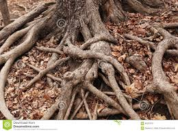 Tree Floor L Gnarled Tree Roots On A Forest Floor Of Dried Leaves Stock