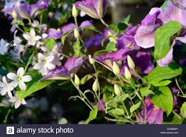 clematis etoile violette purple flowers flowering climber climbers
