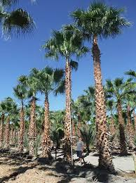 mexican fan palm growth rate palm trees for sale mexican fan palms washingtonia robusta
