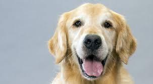 belgian shepherd golden retriever mix golden retriever dog breed information american kennel club