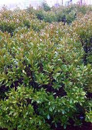 native plants of massachusetts prunus lusitanica portugeese laurel portugal laurel is a