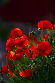 171 best poppy flowers vlčie maky images on pinterest poppy
