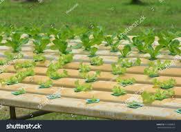 hydroponic plants vegetable garden farm greenhouse stock photo