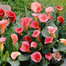 calla lily bulbs ebay