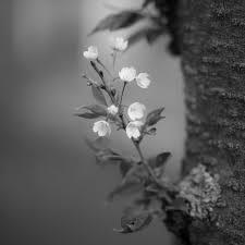 file a tiny branch of a cherry blossom tree 8651135027 jpg