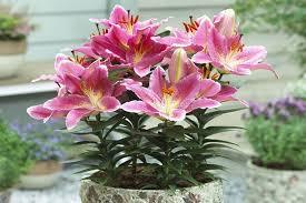 dalia in vaso giglio lilium lilium bulbi giglio lilium bulbi