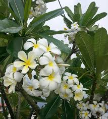 Trees With White Flowers Plumeria Tree With White And Yellow Flowers Stock Photo Image
