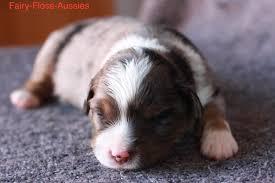 australian shepherd welpen 5 wochen wurf fairy floss miss moneypenny x radiant lethal weapon riggs