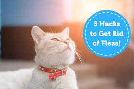 5 hacks to prevent and get rid of fleas oxyfresh