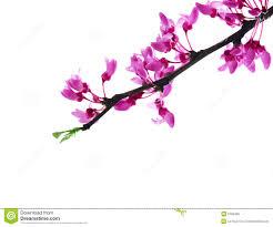 redbud flower royalty free stock photo image 5199455