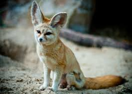 fennec fox as pet animal about pet life
