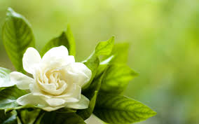 gardenia flower wallpapers u0026 beautiful gardenia pictures flowers