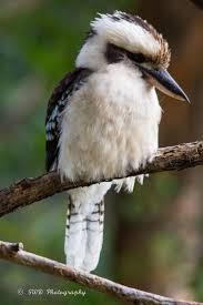 69 best kookaburras images on pinterest kingfisher beautiful